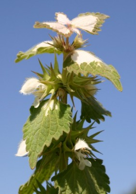 נזמית לבנה Lamium moschatum Mill.