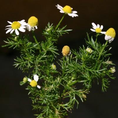 בבונג דו-גוני Matricaria recutita L.