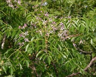 העלה מורכב מנוצה 3-1 פעמים, הפרחים ארגמניים.