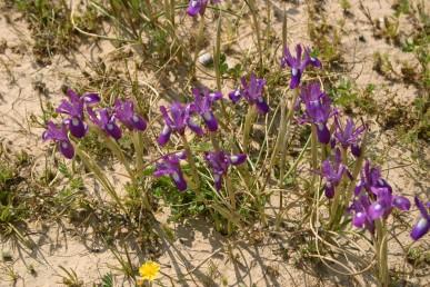 צמחים בעלי פקעת ושני עלים. קוטר הפרח עולה על 3 ס
