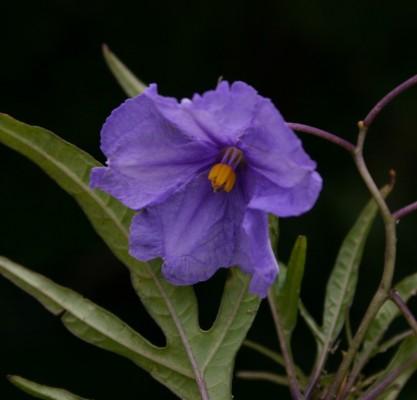 סולנום שסוע Solanum laciniatum Aiton