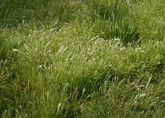 עבדקן החוף Polypogon maritimus Willd.