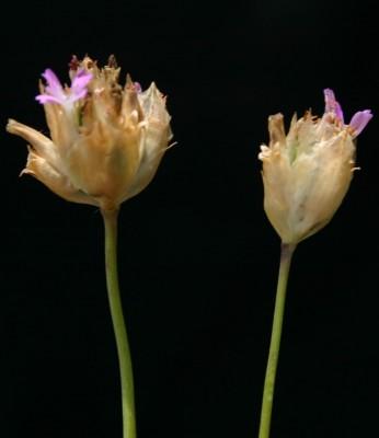 Petrorhagia dubia (Rafin.) G.Lopez & Romo