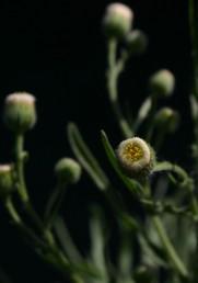 בראש הקרקפת טבעת לבנה של 700-500 פרחי-נקבה זעירים ובמרכזה כ-15-10 פרחים נושאי אבקנים.