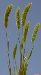 צמחים זקופים. המוץ העליון מסתיים בשני מלענים דמויי זיף שאורכם 1/3 או 1/2 של אורך המוץ העליון גופא. אורך השיבולית (3-) 6.5-4 מ