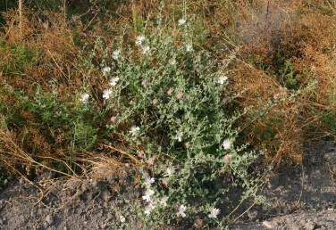 צמחים אפורים מכוסים שערות בצפיפות; בעיקר בבקעת הירדן.