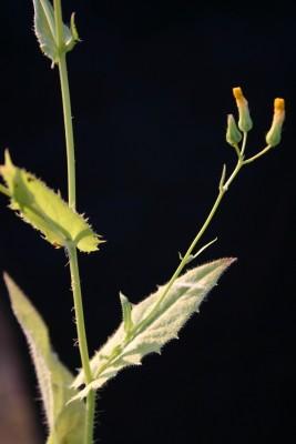 Crepis micrantha Czerep.