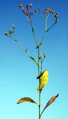 ניסנית קטנת-פרחים Crepis micrantha Czerep.