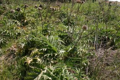 עשבים רב-שנתיים בעלי עלים גדולים חתוכים לאונות. גדלים על פי רוב בקרקעות כבדות.