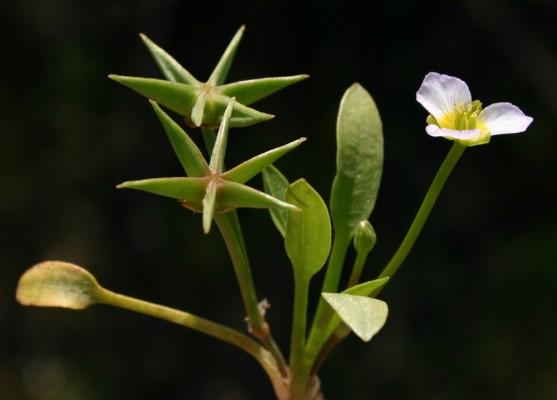 דמסון רב-זרעים Damasonium polyspermum Coss.