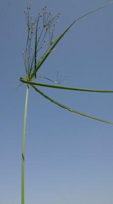 גומא ארוך Cyperus longus L.