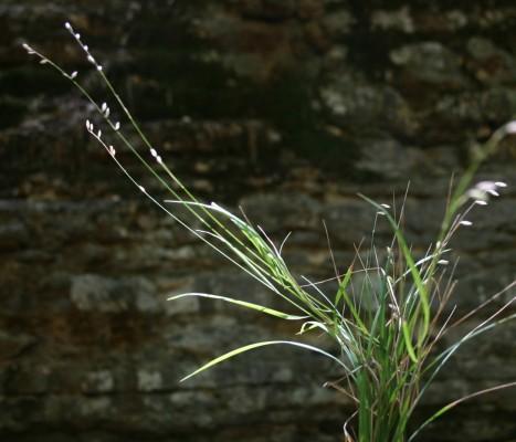 הררית קטנה Melica minuta L.