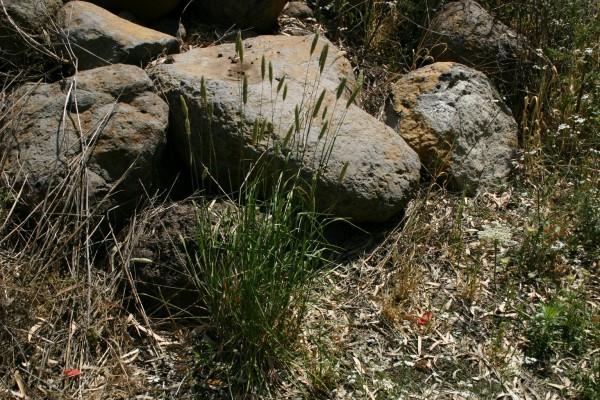 חפורית הפקעים Phalaris aquatica L.