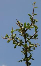 ירוקי-עד קוצניים, גדלים בחורש הים-תיכוני - מזופילי. העלים שעירים, שוליהם כפופים לאחור.