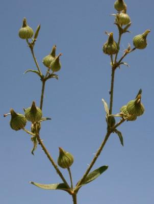 Silene conoidea L.