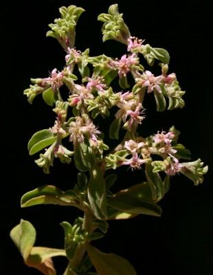גלניה שעירה Galenia pubescens (Eckl. & Zeyh.) Druce