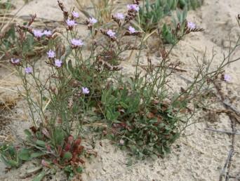 צמחי סלעים בחגורת רסס הים-התיכון. אורך העלים 5-3 ס