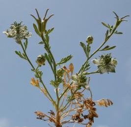 הפרחים מלבינים, כחלחלים, המאבקים צהובים. אורך מפוחית הפרי כאורך מקור המפוחית או ארוך ממנו.