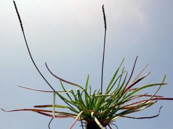 צמח רב-שנתי בעל שושנת עלים בשרניים ירוקים כל השנה. גדל במלחות רטובות.