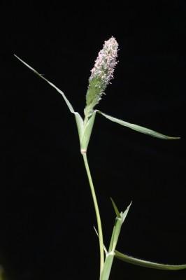 עטיינית קצרה Crypsis schoenoides (L.) Lam.
