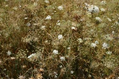 הפרחים לבני-כותרת. קרנות הסוכך אינן נסגרות בהבשלה או בהתיבשות והסוכך נשאר פתוח.