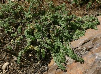 בן-שיח נמוך ושרוע. העלים והגבעולים מכוסים שערות קצרות צפופות. גדלים בבתות ים-תיכוניות על קירטון חווארי.