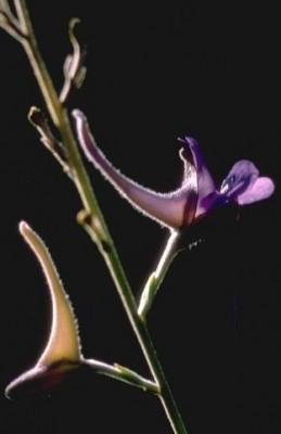 דורבנית סגולה Delphinium peregrinum L.