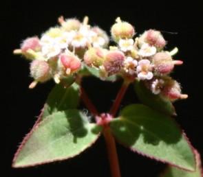 ההלקט שעיר. התוספות לבלוטות לבנות עד ורודות, העלים דמויי אזמל, שפתם משוננת או חרוקה.