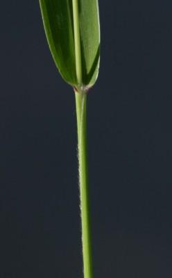 זיפן ירוק Setaria viridis (L.) P.Beauv.