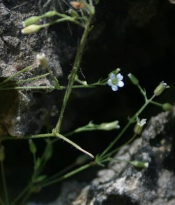 Arenaria deflexa Decne.
