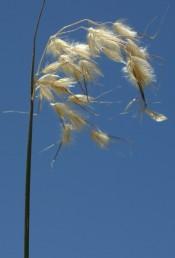 המכבד דומה למכבד של שיבולת-שועל אך השיבוליות צפופות ושעירות יותר.