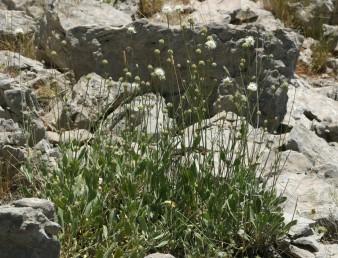 בני-שיח הגדלים בשפע בחרמון. צבע הכותרת צהוב חיוור או לבן קרם.