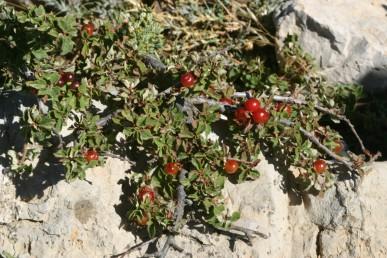 שיחים נמוכים הדוקים לגושי אבן או סלע.