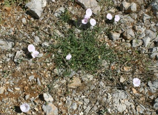חבלבל איטלקי Convolvulus cantabrica L.
