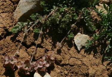 צמחי חרמון רב-שנתיים שרועים או מתרוממים.