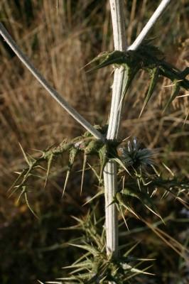 קיפודן דביק Echinops viscosus DC.