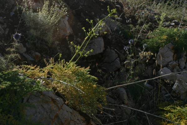 Ferulago trachycarpa Boiss.