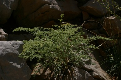 עשב רב-שנתי הגדל בדרדרות של סלעים ואבנים בחרמון ברום 2,800-1,400 מ'.