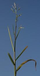 עשב רב-שנתי, קירח גדל בביצות. התפרחת מכבד בעל ציר ראשי משולש; חלקו התחתון עטוף בנדן של העלה העליון.