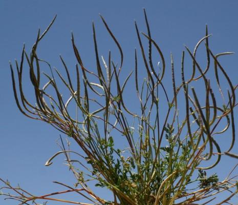 מגלית גדולת-פרחים Hypecoum dimidiatum Delile