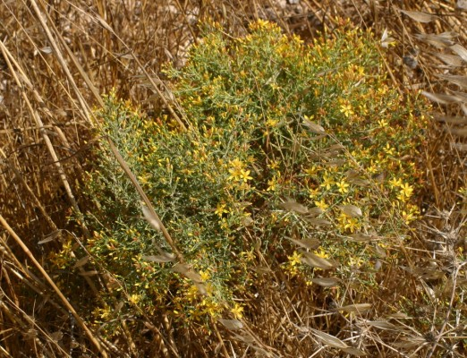 פרע מסולסל Hypericum triquetrifolium Turra