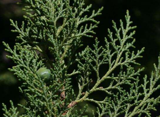 ערער ברושי Juniperus excelsa M.Bieb.
