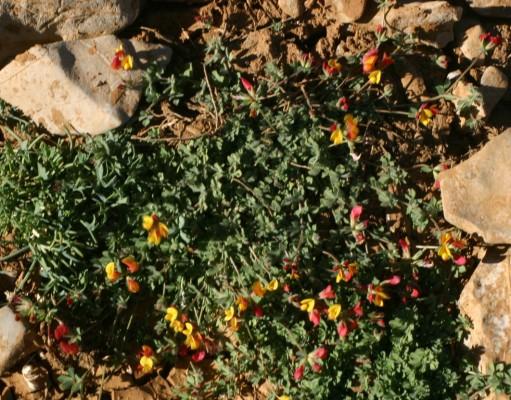 Lotus corniculatus L.