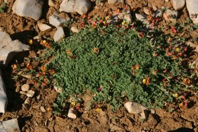 צמחי החרמון, נפוצים בקרקעית שקעים (דולינות).
