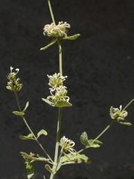 קוטר דורי הפרחים 2-1.5 ס