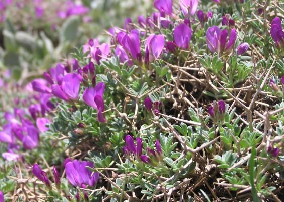 כרבולת מקרינה Onobrychis cornuta (L.) Desv.
