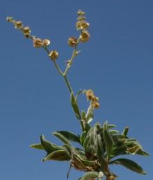 עשבים רב-שנתיים של החרמון. אורך הכותרת 3-1.5 ס