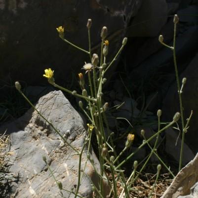 מררית סמורה Picris strigosa M.Bieb.