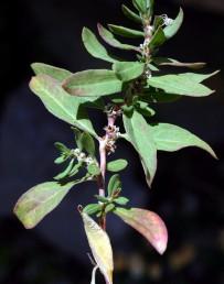 צמחים הגדלים מעל רום 1000 מ' בחרמון ובגולן. רוחב העלה עולה על 8 מ