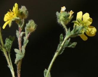 עשב רב-שנתי חסר שלוחות. הפרחים בקבוצות או בודדים על עוקצים קצרים. טרף העלה מכוסה בצפיפות שערות הדוקות.